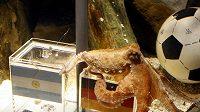 Chobotnice Paul z Oberhausenu má jasno - chápe se po krabičce s německou vlajkou, což znamená, že Němci vyřadí i Argentinu...