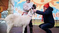 Koza ze samarské zoologické zahrady předpověděla, že světový šampioonát vyhraje Belgie.