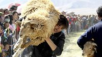 Fotbalisté Karagandy chtějí obětovat ovci i v odvetném utkání ve Skotsku. Ilustrační foto.