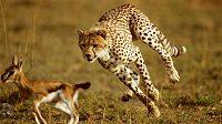 Najíst se raději před výkonem, nebo až po něm? Za nejlepší běžce to řeší sama příroda.