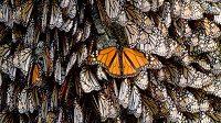 Monarcha stěhovavý z čeledi babočkovitých.