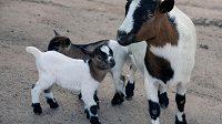 Zakrslé nigerijské plemeno kozy se často stává i rodinným mazlíčkem. (ilustrační foto)