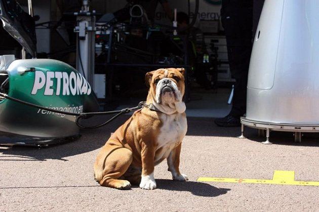 Buldok Lewise Hamiltona Roscoe v paddocku.