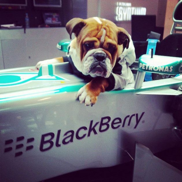Buldok Lewise Hamiltona Roscoe ví, jaké to je sedět v kokpitu formule 1.
