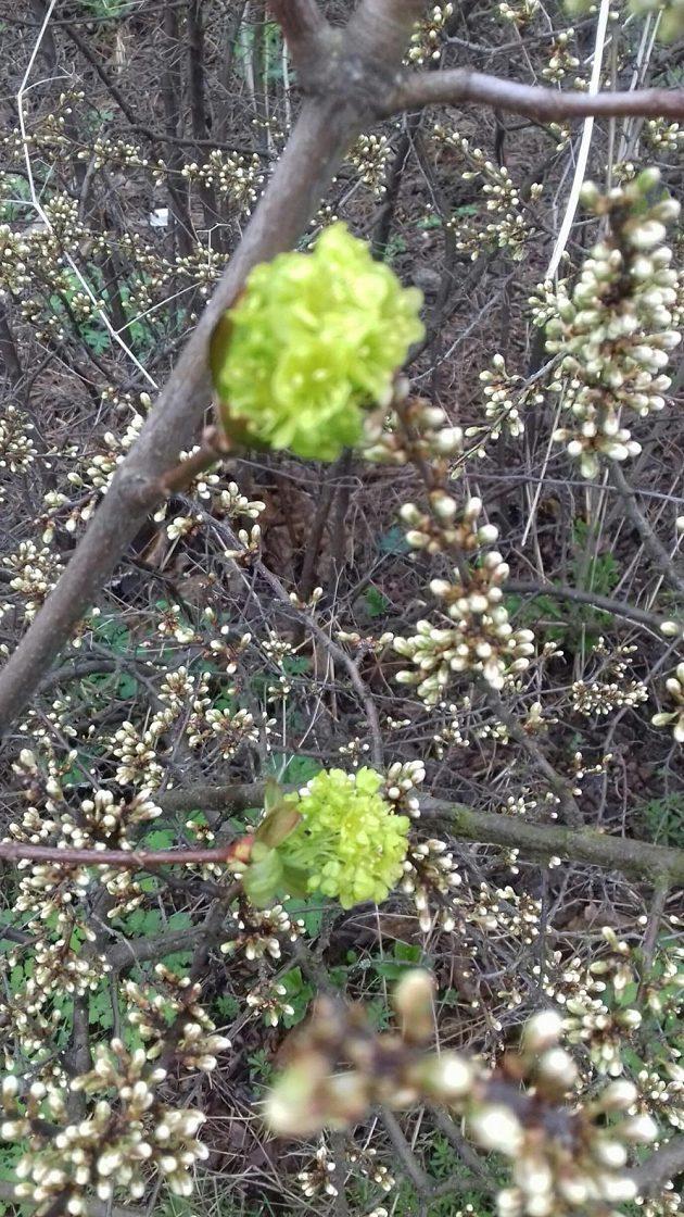 Běžecké stezky lemují květy javoru a trnky.