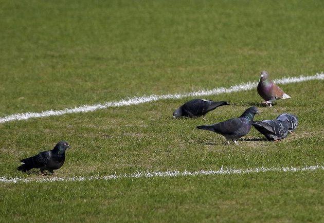 Co byste chtěli, rostovští holubi nemají proti kvalitě trávníku žádné námitky...