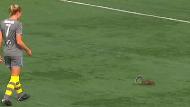 Čilá veverka přerušila zápas fotbalistek New Yorku a Philadelphie.