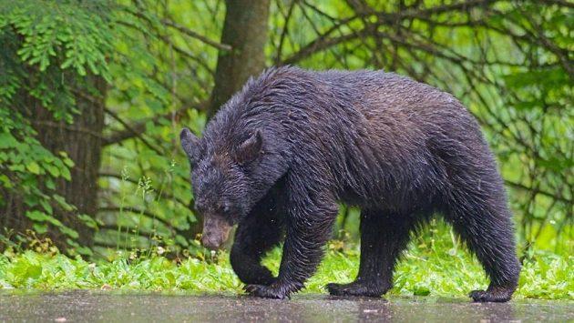 Medvěd černý se člověku většinou raději vyhne. (ilustrační foto)