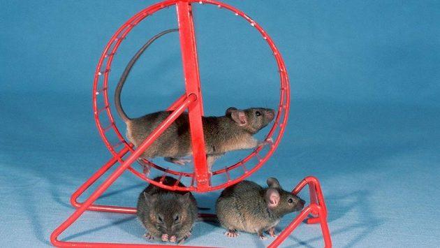 Z obrázku je asi jasně patrné, která myš má nejnižší hladinu leptinu.