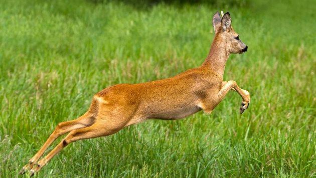 Pokud při běhu potkáte srnu, raději se tomuto krvelačnému zvířeti vyhněte.