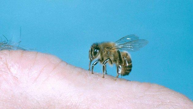 Včela lidem nosí med, ale i nepříjemné opuchliny.