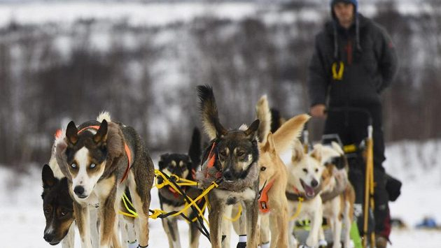 Slavný závod psích spřežení Iditarod na Aljašce - ilustrační foto.