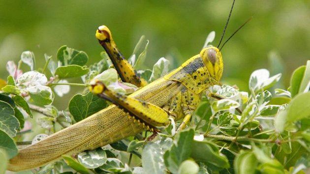 Docela obyčejné zelené kobylky představují hrozbu pro fotbalový šampionát.