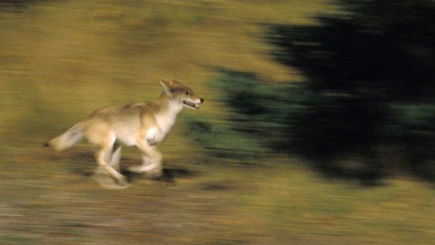 Kojot napadá v ranních hodinách lidi. (ilustrační foto)