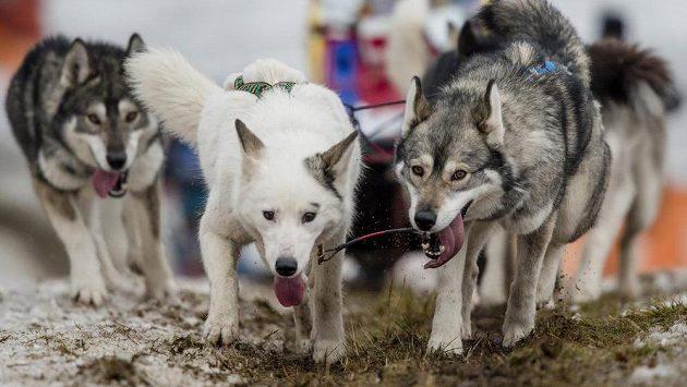 Obleva ukončila 20. ročník čtyřetapového závodu psích spřežení Šediváčkův long.