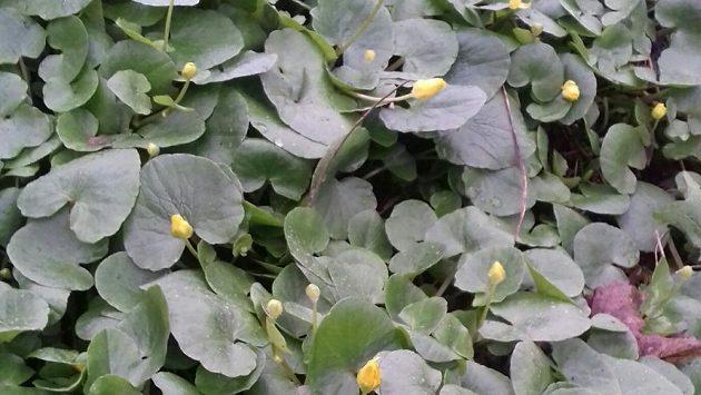 Orsej jarní vytváří krásné žlutozelené koberce.