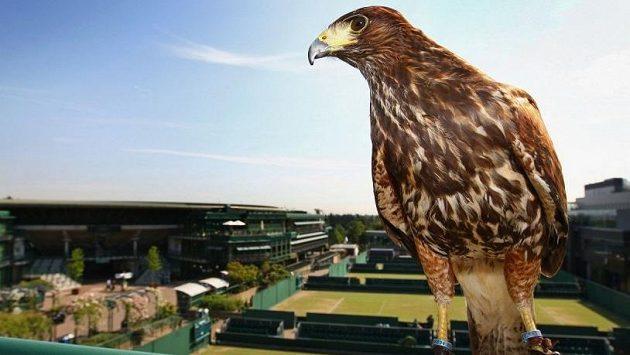 Bez jestřába Rufuse se Wimbledon neobejde