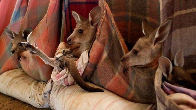 Klokaní školka pro osiřelá mláďata, která byla zachráněna během rozsáhlých požárů v Austrálii.