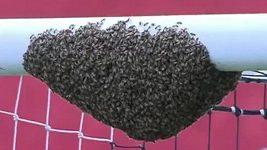 Včelí roj na fotbalové brance.