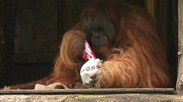 Orangutan Walter předpovídá výsledek finále Německého poháru.