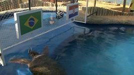 Želva předpověděla vítězství Brazílie