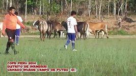 Stádo krav přerušilo fotbalové utkání