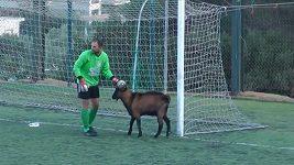 Kozel na fotbalovém hřišti