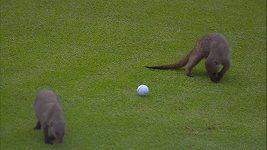 Šelmy řádí na golfovém turnaji