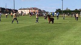 V zápase nižší fotbalové ligy v Anglii se na hřišti objevila lama