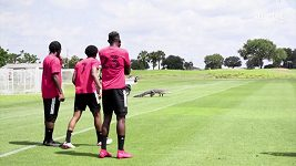 Trénink Toronto FC na Floridě narušil aligátor